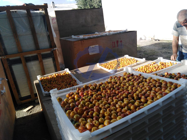 Apricot Drying working site at Uzbekistan